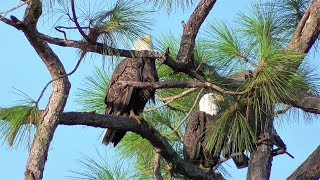 Download SWFL Eagles Team H & M Fly Their Area, Return With Sticks/Grasses, Mating 10-02-18 Video