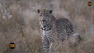 Download Pt 1 Safari Live's Sunrise Safari Drive at 6:30 AM on May 05, 2018 ( Tingana ) Video