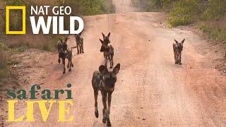 Download Safari Live - Day 1 | Nat Geo WILD Video