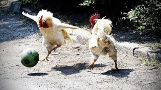 Download Funny Chicken ★ ULTIMATE Funny CHICKEN Compilation (HD) [Funny Pets] Video
