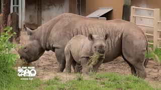 Download Black Rhinos at Blank Park Zoo Video