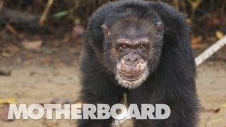 Download The Real Planet of the Apes (Documentary) Video