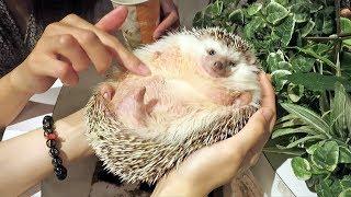 Download World's Fattest Hedgehog - Incredible! Video