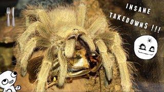 Download Tarantula Feeding Video #27 ~ GOOD START !!! Video