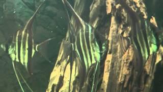 Download Pterophyllum Altum ″Río Orinoco″ Video