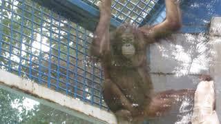Download Орангутаны Мишель и Бату с покрывалами 19.08.2019 Video
