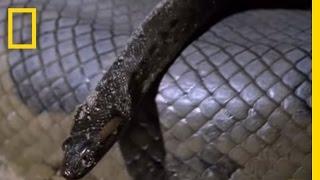 Download Anaconda Babies | National Geographic Video