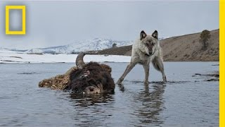 Download Photographing the Wild Wolves of Yellowstone | Exposure Video