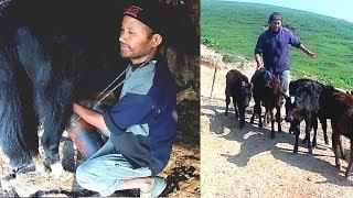 Download Milking Yak || Himalayan Yak herd Lifestyle In Nepal Video