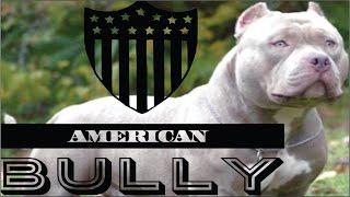 Download American Bully raza, características, cuidados y ejemplares. cachorros adiestramiento perros Video