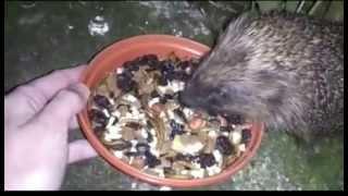 Download Hedgehog Street: A hedgehog feasting by Hedgehog Champion Johanna H Video