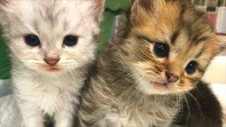 Download 【かわいい子猫】母をさがしてニャ~激カワ子猫の日常… Video