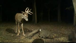 Download Buck Battling the Raccoons Video