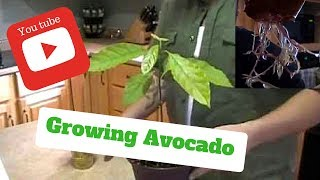 Download HOW TO GROW AVOCADO TREES FROM SEEDS ON THE FIRST TRY ! Video