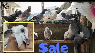 Download 2406# Sale madrasi Kanutar in delhi aryapura 09315892001, Part1 Video