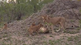 Download Pt 2 Wild Earth Live Sunset Safari Drive at 5:30 PM on Nov 26, 2016 ( Lions ) Video