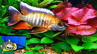 Download Planted African Cichlid Aquarium - One Tank at a Time Series Video