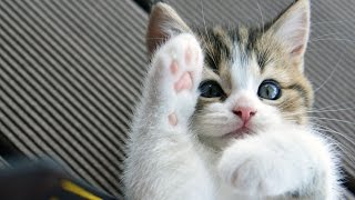 Download Funny Cats and Cute Kittens Playing Compilation for laugh ! Video