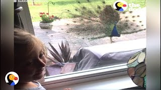 Download Peacock Decides to Live with Human Family   The Dodo Video