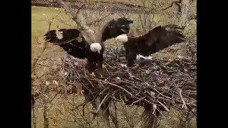 Download Decorah North Eagles ~ Mr North FIGHTS Female INTRUDER! Arrives Guns Blazing!! SLOMO! 11.3.19 Video