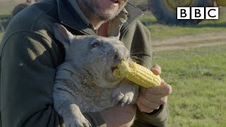 Download Feeding a farting wombat - Natural World 2016: Episode 5 Preview - BBC Two Video