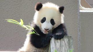 Download 遊んでほしい結浜♪ 飼育員さんのお掃除を高いところから掃除を見守る。 Panda baby Yuihin♪ Fine!! Video
