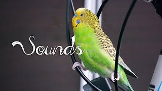 8 Hour Budgie talking with mirror [Sounds] Free Download