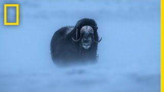 Download Watch Musk Ox Battle One of the Harshest Climates on the Planet | Short Film Showcase Video