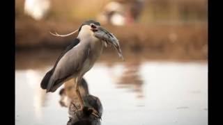 Download Wild birds in Hungary Video
