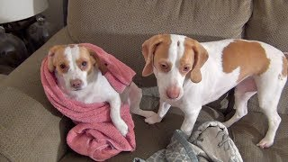 Download Tomfoolery Tuesday: Cute Dogs Amused by Towel Video
