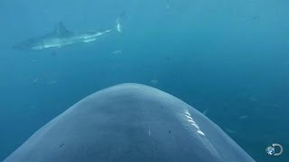 Download Camera Attached to Shark's Fin | Lair of the Mega Shark Video