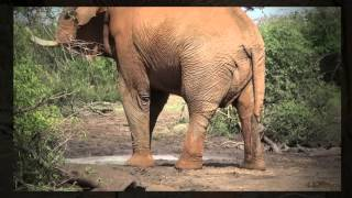 Download RHULANI MINUTE SAFARI - A musth elephant Video