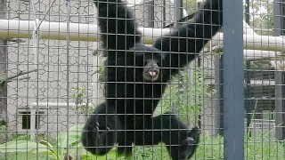 Download 「おっさんの叫び声」?フクロテナガザル人気 名古屋・東山動植物園 Video