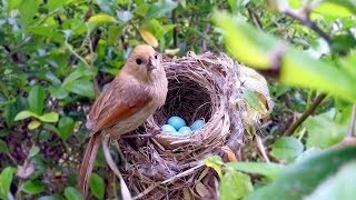 Download Bird hatching and brooding (HD) Video