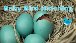 Download Baby Bird Hatching Video
