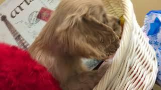 Download ペットショップ 犬の家 ○○店 「品種名」「問い合わせ番号」 Video