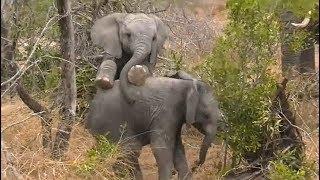 Download SafariLive Aug 08 - Cuteness overload...baby elephants! Video
