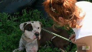 Download Rescuing a Dog with Deep, Infected Wounds | Pit Bulls and Parolees Video