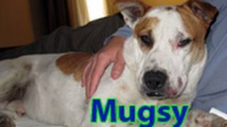Download Dog rescue: Mugsy, the American Bulldog looking for a home. Video
