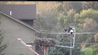 Download Lele Fledges From the Nest! [Cam 2, longer cut] August 5, 2018 | Hellgate Ospreys Video
