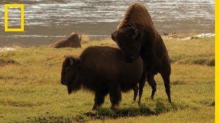 Download Le rut chez les bisons de Yellowstone Video