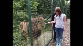 Download BIG CAT EXPERIENCE | HAND FEEDING A LION | WHF SANCTUARY Video