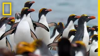 Download Macaroni Penguins Swim, Surf, and Dodge Seals to Survive – Ep. 2 | Wildlife: Resurrection Island Video