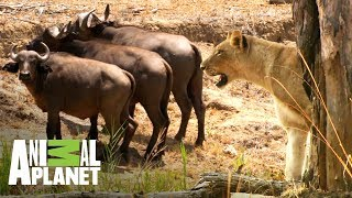 Download Leonas vs búfalos ¿quién ganará? | Ríos de África | Animal Planet Video