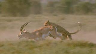 Download Gazela i gepard Video