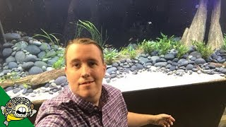 Download Adding 100 Tiger Barbs to the 800 gallon aquarium! Video