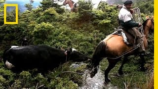 Download Perilous Ride to Herd Runaway Cattle | National Geographic Video