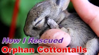 Download How I Cared for Baby Cottontails Video