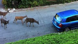 Download Cat vs. Deer Video