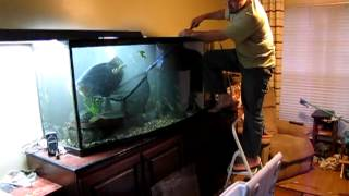 Download Catching Mr. Pacu to take to his new home. Video